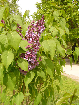 Yambol's First Lilac of Spring