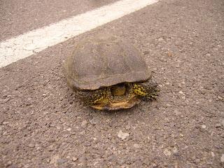 A Tortoise Or Slow Coach On Bulgarian Roads