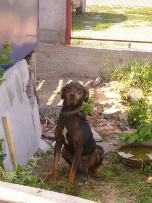 A Yambol Factory Guard Dog