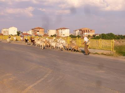 A Yambol Urban Shepherd