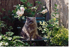 Chuck, my first pedigree cat