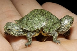 Two-headed turtle goes on display