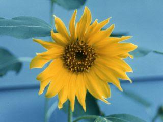 beauty of sunflower
