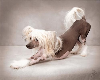 Hairless Chinese Crested. Chinese Crested Hairless