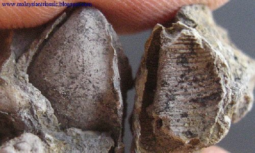 bivalve singles & personals Strontium isotope dating of bivalve faunas from the upper miocene cacela formation, eastern algarve, portugal: evidence from messinian bivalve fauna geological quarterly, 57.