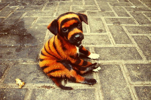 acquisence if our dog looks like a tiger i don t care what size it isDog That Looks Like A Tiger