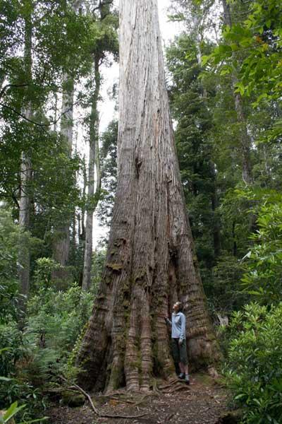 World U0026 39 S Tallest Tree   Coast Redwood