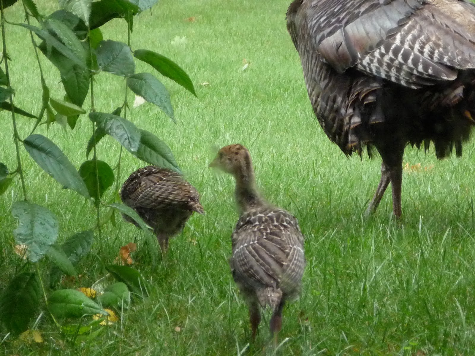 Displaying 19> Images For - Baby Turkey...