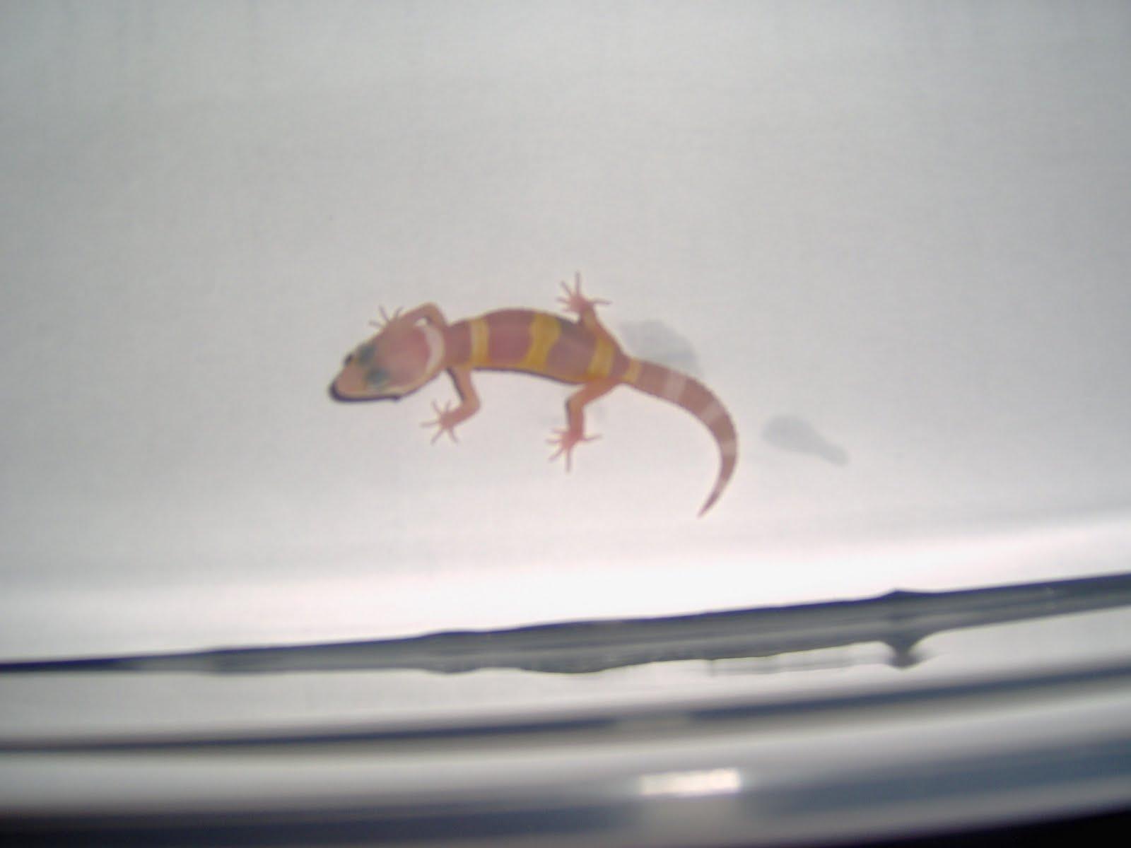 Baby midnight blizzard leopard gecko - photo#14