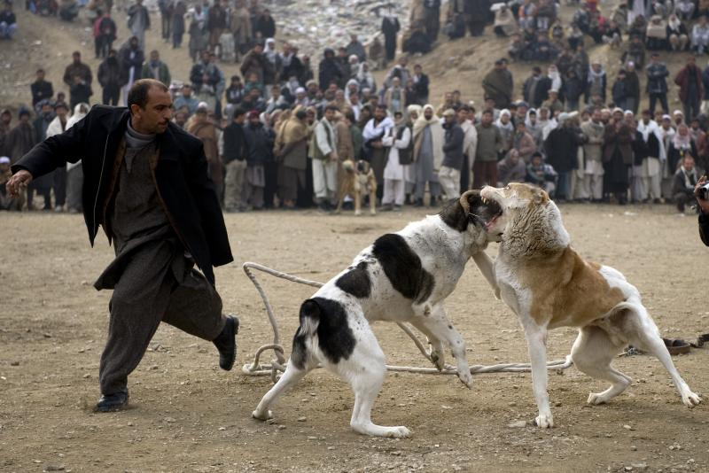 Afghan fighting dog