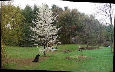 click here for Full Size image of this backyard panorama  made from 4 snapshots, showing the old falling-down grape trellis