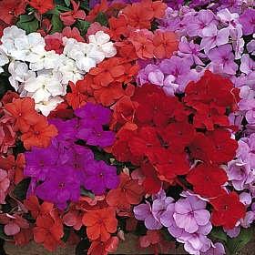 Todo jardines planta que dura m s de dos a os alegria de la casa - Planta alegria de la casa ...