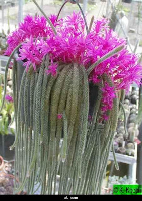 Todo jardines aporocactus cactus de cola de rata - Infojardin cactus ...