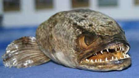 ikan kepala naga