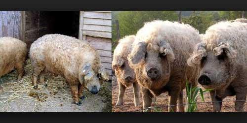 Berita Dan Gambar aneh - Babi Berbulu Domba -