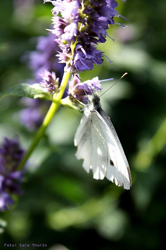 Thorins Trädgård - fjärilar