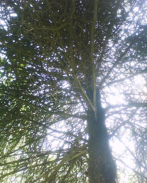 Biolog a pinos b variedades de la especie estudiada for Variedades de pinos para jardin