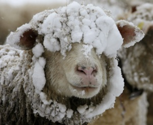 [sheep-in-snow.jpg]