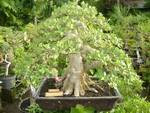 TOP Green island ficus
