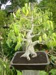 Ficus benyamina