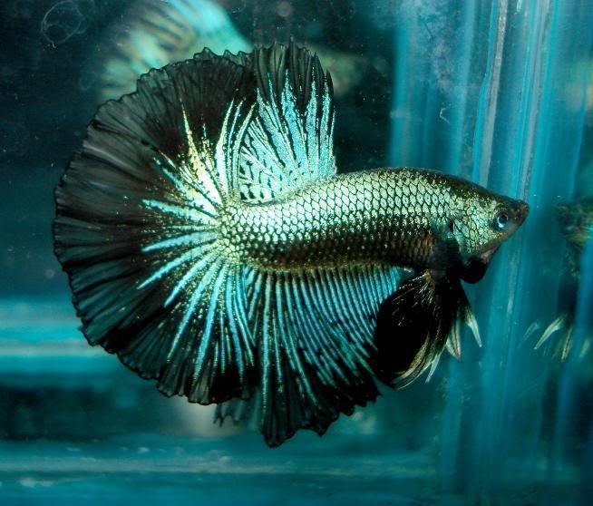 Hobiis ikan cupang: jenis-jenis ikan cupang hias