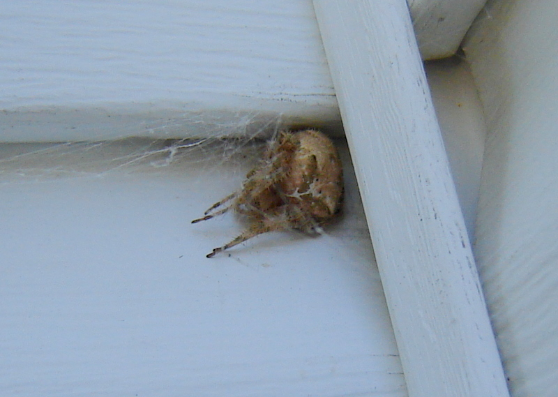 Pictures of Cat Face Spiders http://countrymousestudio.blogspot.com/2010/10/cat-face-spider-cougars.html