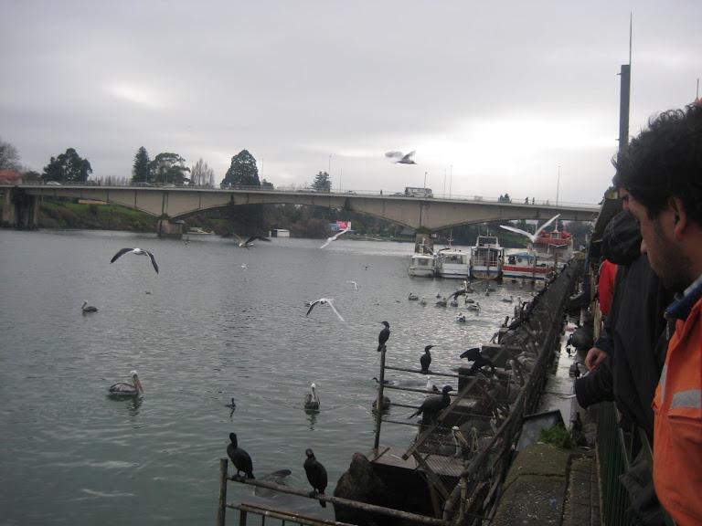 Pelícanos en  la Feria Fluvial