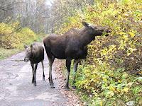 Elk in Elk Island National Park