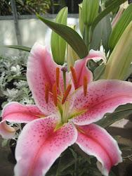 Lilium perfumado