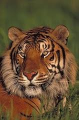 Sang Harimau Sudah Bangkit