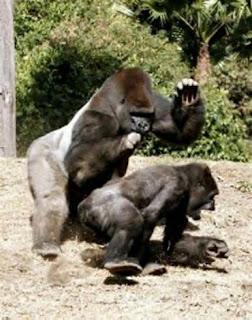 gorilla sex with other gorilla