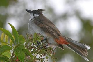 nadzri: Burung Merbah Jambul