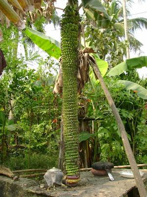 Longest banana tree