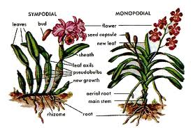 types of orchids 1
