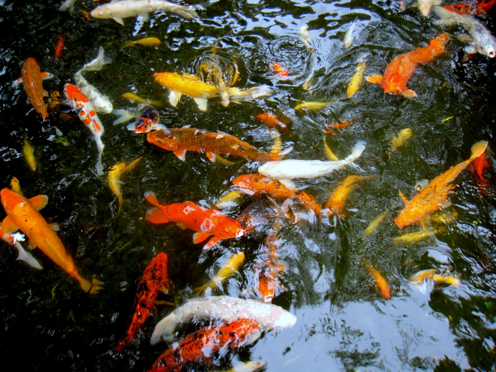 Japanese Koi Fish Swimming Of koi fish swimming inJapanese Koi Fish Swimming