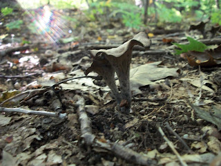 Black Trumpet Mushrooms in Sunlight