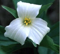 What Is A Trillium?