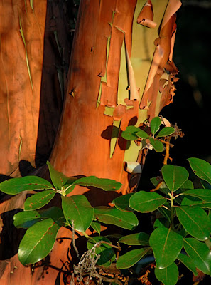 madrona tree bark and leaves, robert demar photography