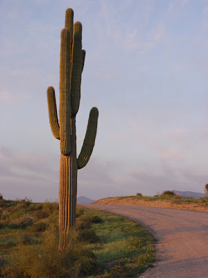 Saguaro cactus, dusk, near Phoenix AZ, photo by Robin ATkins
