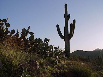 saguaro cactus, Bush Hwy, Phoenix AZ, photo by Robin Atkins