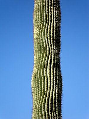 Saguaro cactus, Phoenix, AZ