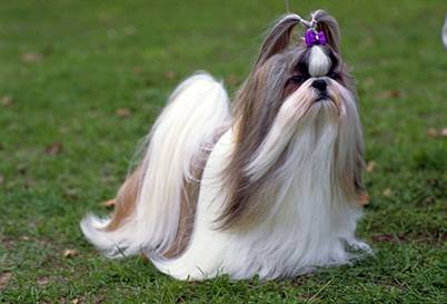 Little Dogs 4 Ever Shih Tzu Dog Of The Month Hair Cuts