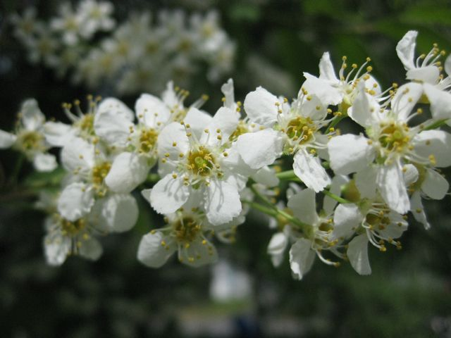What do i know three anchorage trees with white flowers crab apple blossoms mightylinksfo