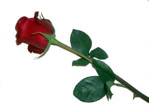 semnificatia culorilor trandafirilor