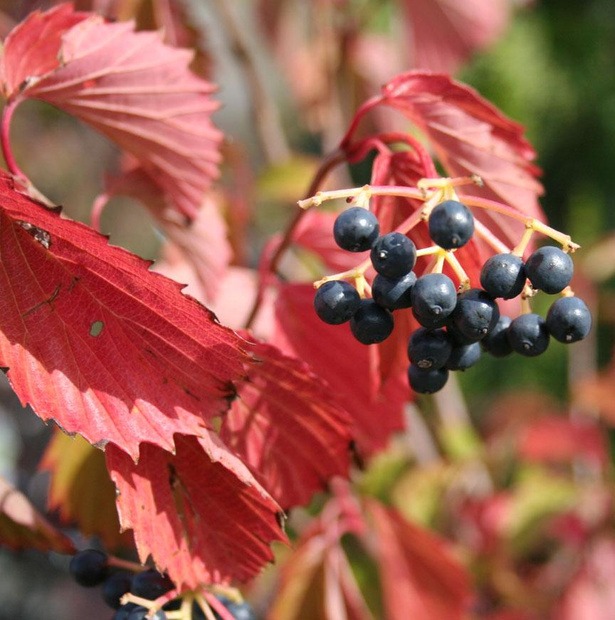 Viburnum Dentatum Fall Color Autumn is a season that many