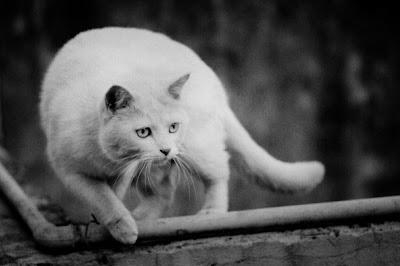 El chasquido en los gatos Gato