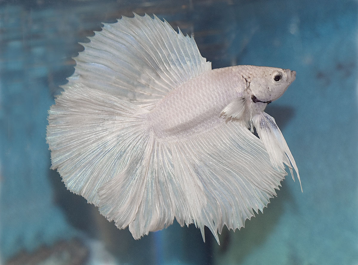 Pix Pix Delight: betta fish
