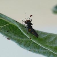 Ladybug nymph lunching on aphid © Tyler Storey