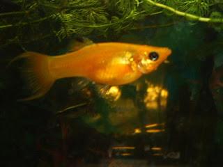 Аквариумни рибки - Молинезия