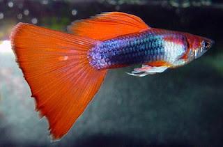 Аквариумни рибки - Гупа